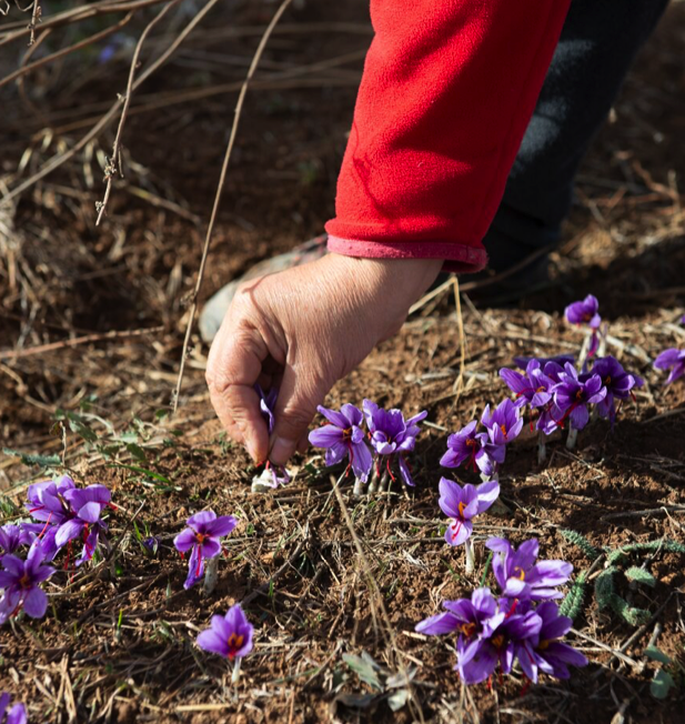 Saffron picking