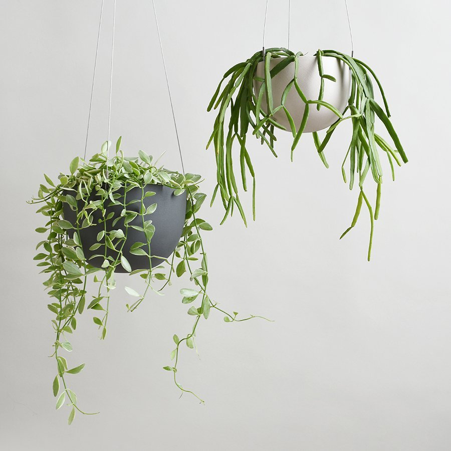 Two hanging pot plants with leafy green plants
