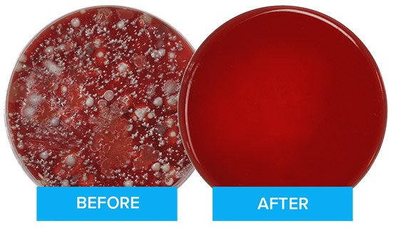 A petri dish with bacteria grown from a phone sample followed by a clean petri dish from a phone sample after using PhoneSoap.