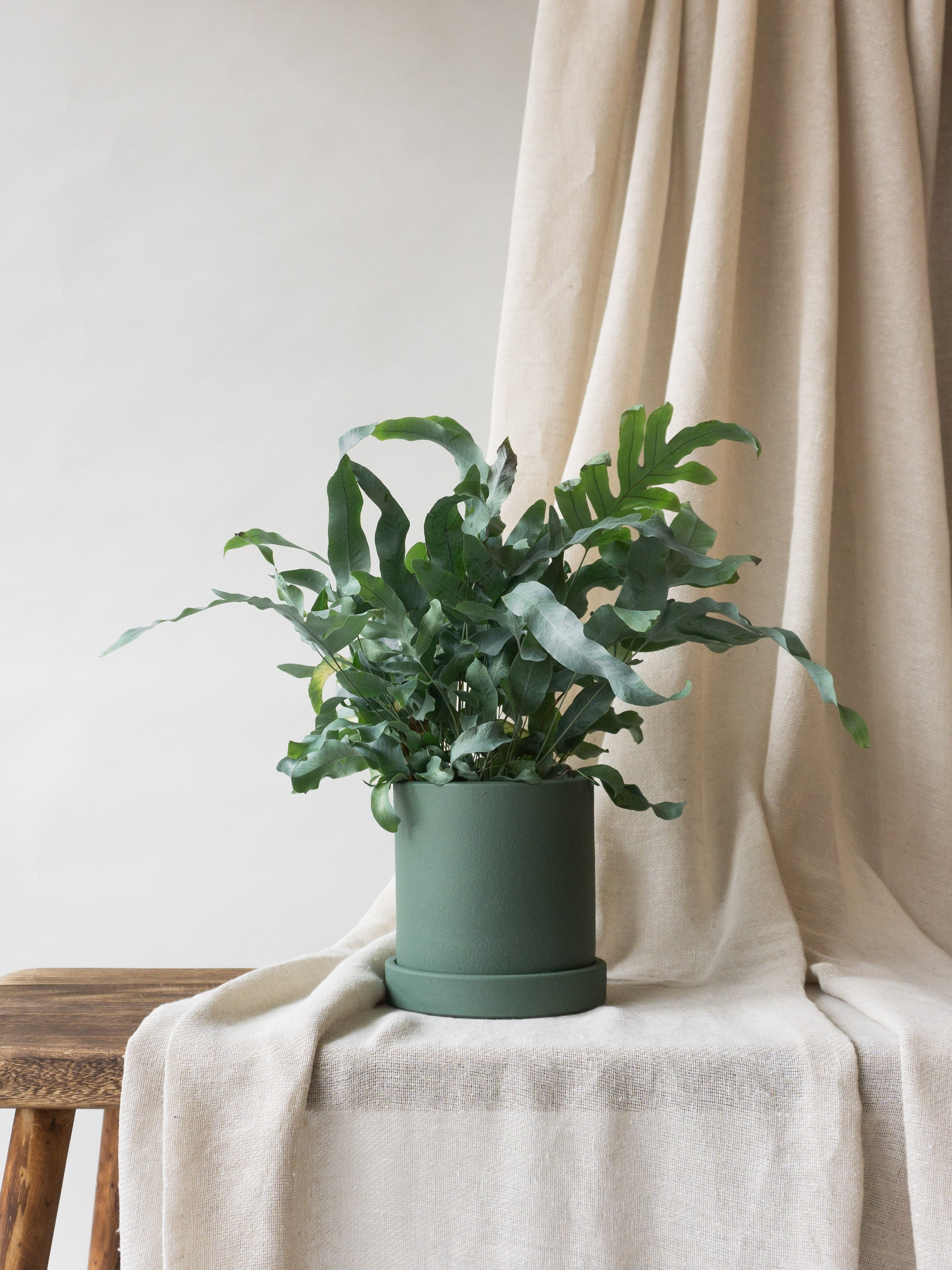 Plant care tips by Leaf Envy  Blue Star Fern light, watering, humidity, fertiliser requirements