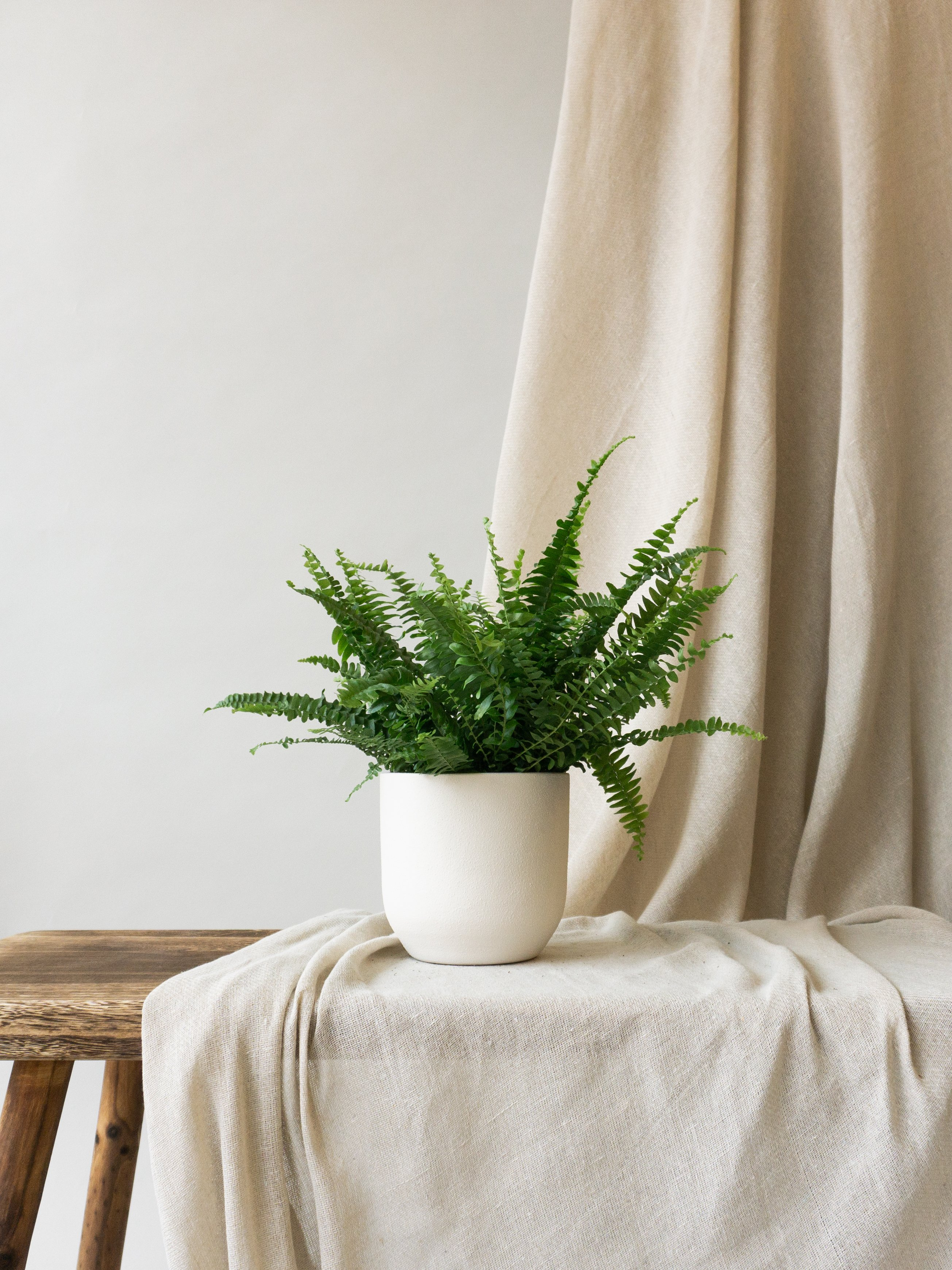 Plant care tips by Leaf Envy  Boston Fern light, watering, humidity, fertiliser requirements