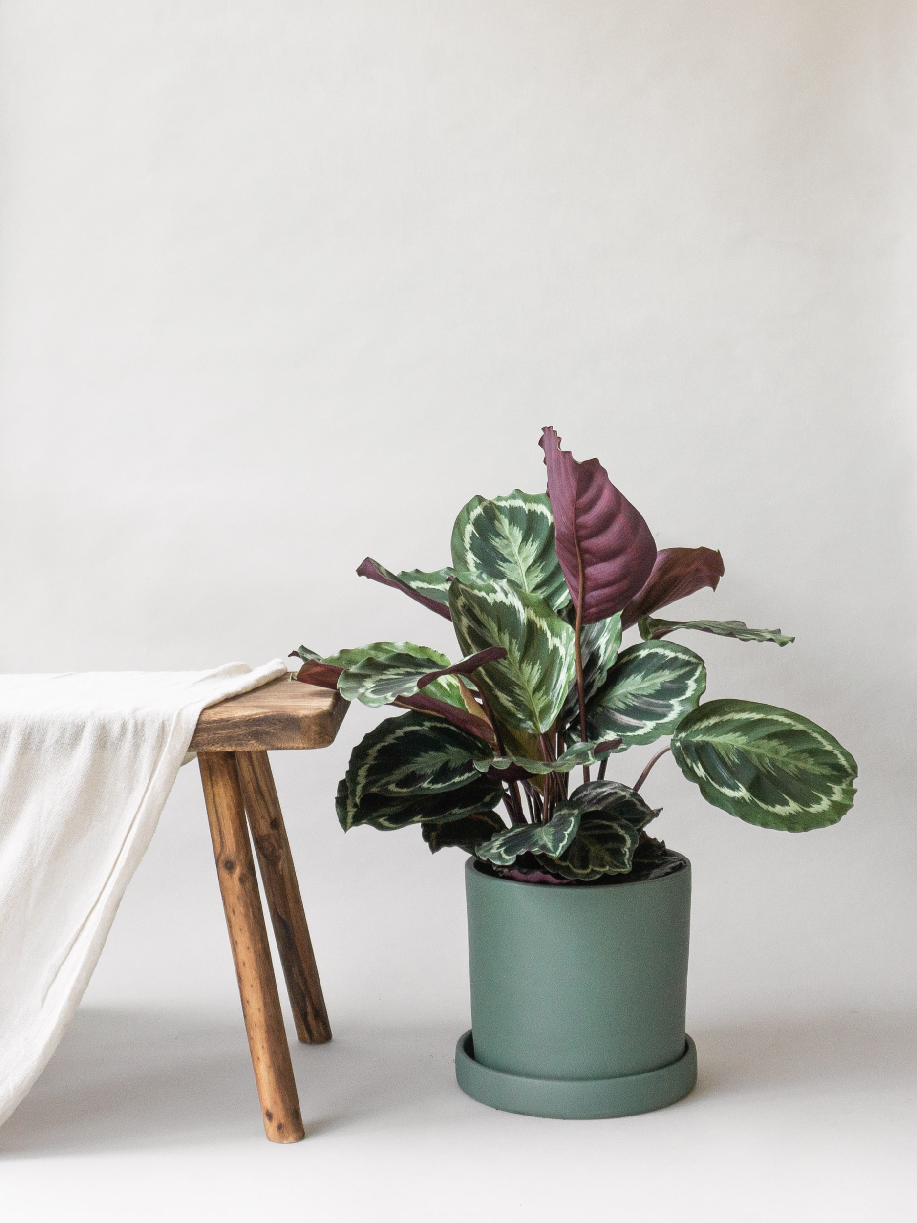 Plant care tips by Leaf Envy Calathea light, watering, humidity, fertiliser requirements