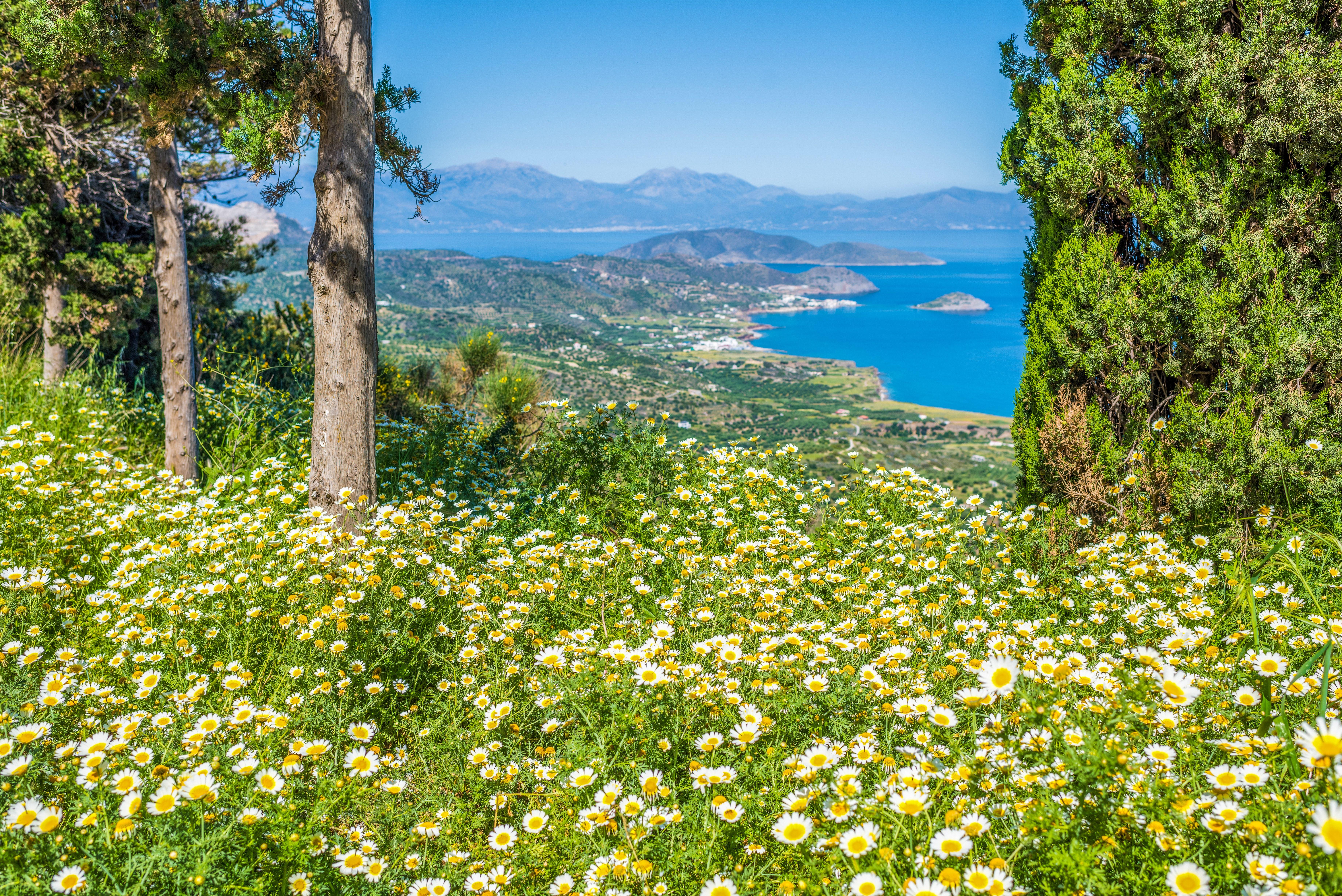 Cretan Chamomile