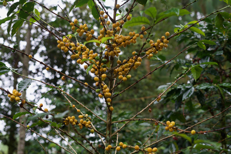 Peru Organic washed coffee