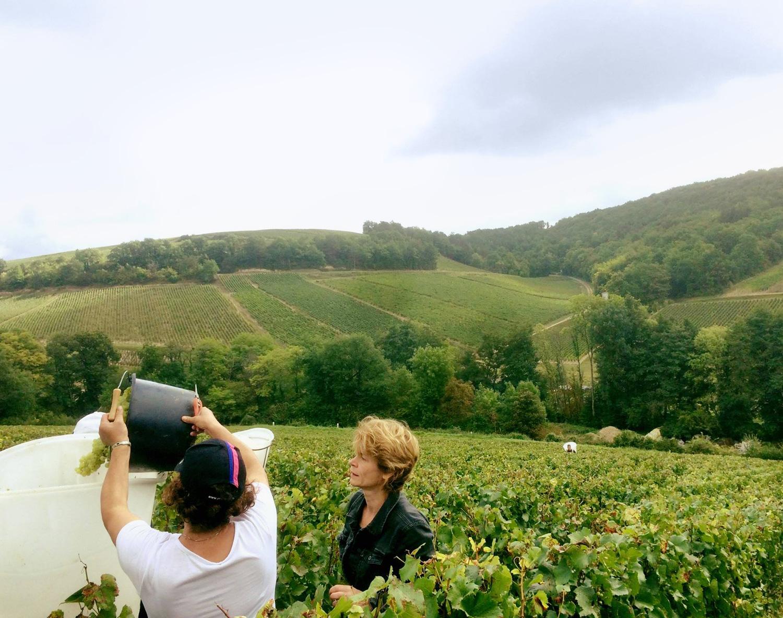 The Grape Harvest at Domaine D'Henri.