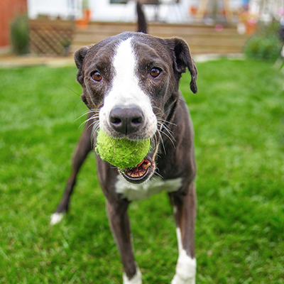 Dog with tennis ball in his mouth standing in a backyard.